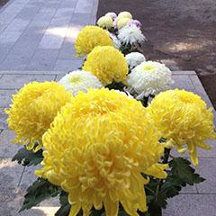 境内の菊の花
