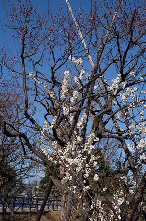 梅林公園の梅の木と青い空