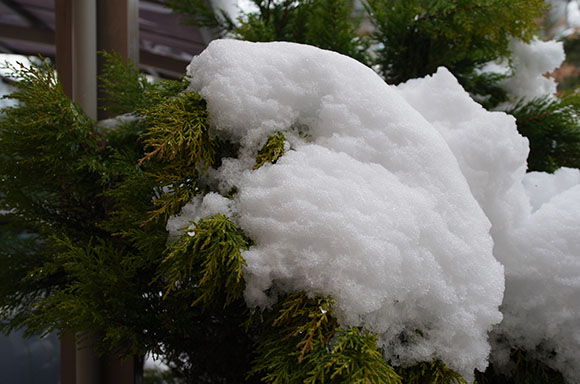 ゴールドクレストに積もる雪