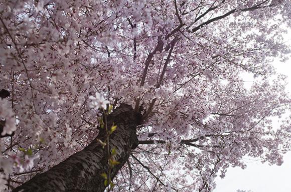 桜の木の下から