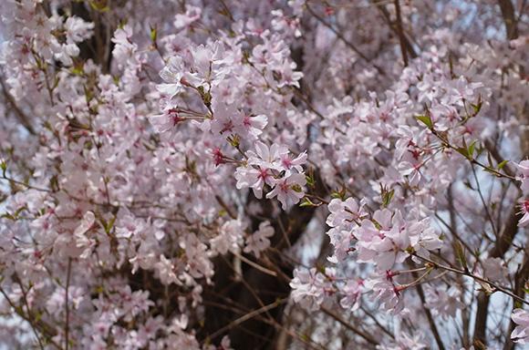 桜に近づいて