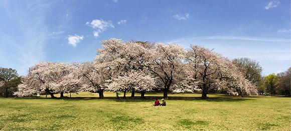 2人だけの桜