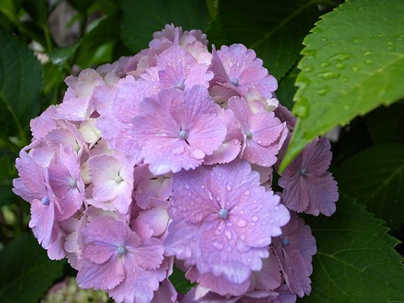 紫陽花と葉