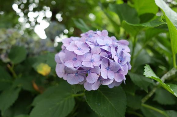 GRで撮った紫陽花